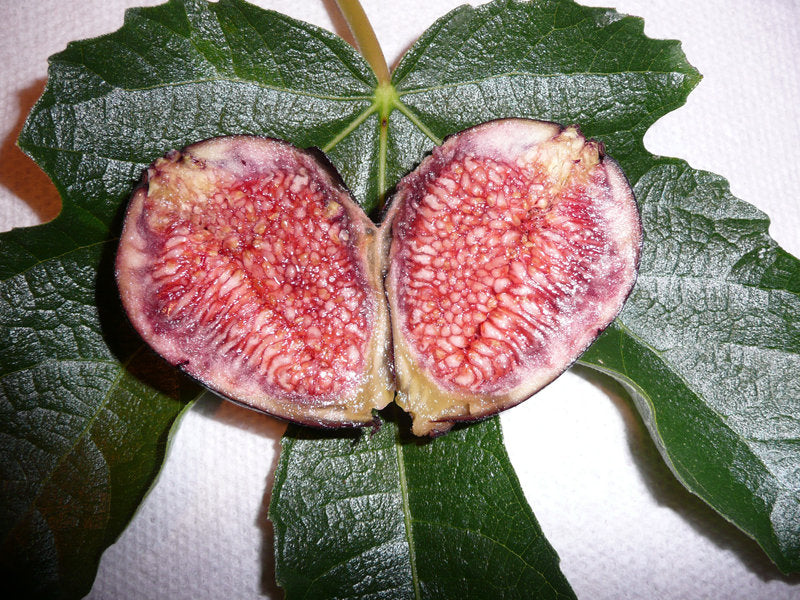 Fig 'Violeta de Bordeaux'  - 1 Plants - 1  Feet Fall -  Ship in 1 Gal Pot