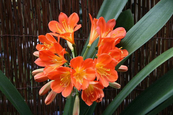 Clivia hybrid orange - 1 Plants - 1 to 2  Feet Fall -  Ship in 1 Gal Pot