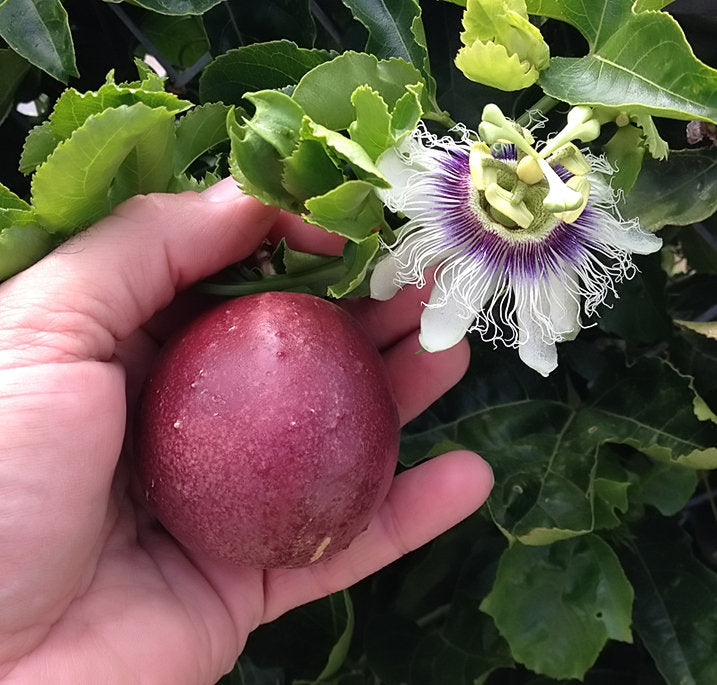 Passiflora Edulis  'Red Rover' - Red Passion Fruit Plant - 1 Plant - 2 Feet Long - Ship in 1 Gal Pot