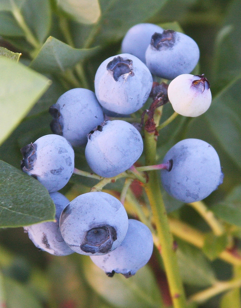 Free Shipping - Emerald Blueberry Vaccinium corymbosum - 1  Plant - 1 Feet Tall - Ship in 1 gal Pot