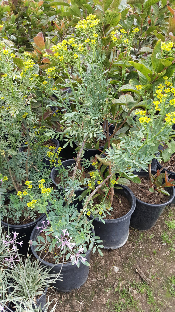 Ruda Plant Common Rue Herb of Grace - 2 Feet Tall  - Ship in 1 Gal Pot