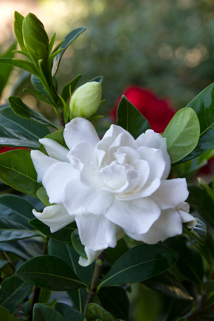 Everblooming Gardenia - Gardenia jasminoides 'Veitchii'- 1  Plant - 1 Feet Tall - Ship in 1 gal Pot