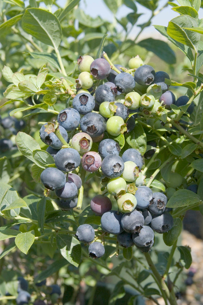 O'Neal Blueberry Vaccinium x 'O'Neal' (Southern Highbush) - 1  Plant - 1  Feet Tall - Ship in 1 gal Pot