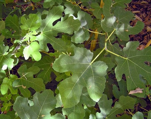 Fig 'Black Mission' -  Fruit Plant - 1 Plant - 1 Feet Long - Ship in 1 Gal Pot