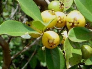 Free Shipping - Lemon Guava (Psidium littorale) - 3 Feet Tall  - Ship in 3 Gal Pot