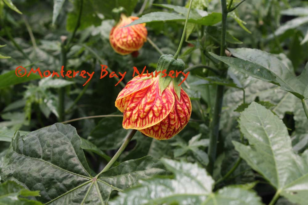 Abutilon 'Tiger Eye'  - Tiger Eye flowering maple - 1 Plants  - 1   feet Tall - Ship in 1 gal Pot