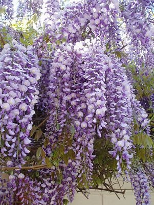 Chinese Wisteria - Wisteria sinensis -  2 Feet Tall - Ship in 1 Gal Pot