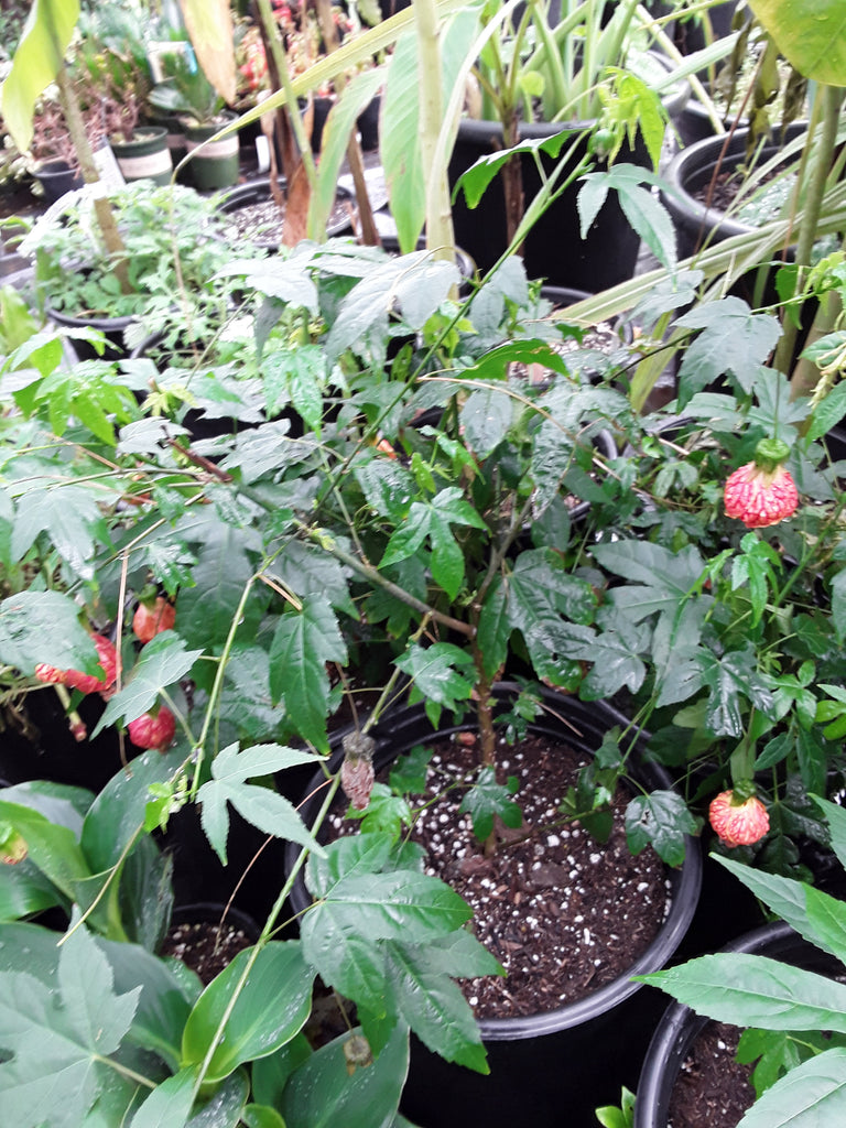 Abutilon 'Tiger Eye'  - Tiger Eye flowering maple - 1 Plants  -  2 to 3  feet Long  - Ship in 3 gal Pot