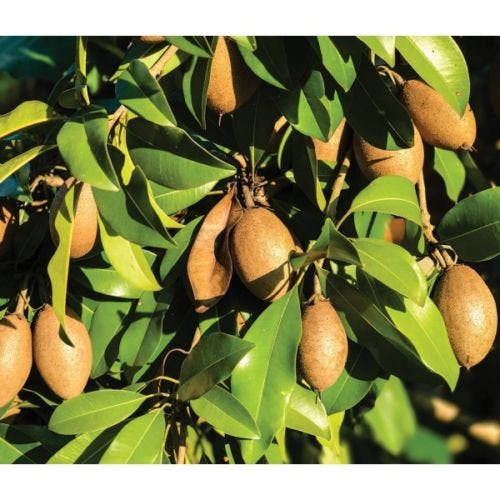Sapodilla Alano - 1 Plants - 2 to 3 Feet Tall - Ship in 3 Gal Pot