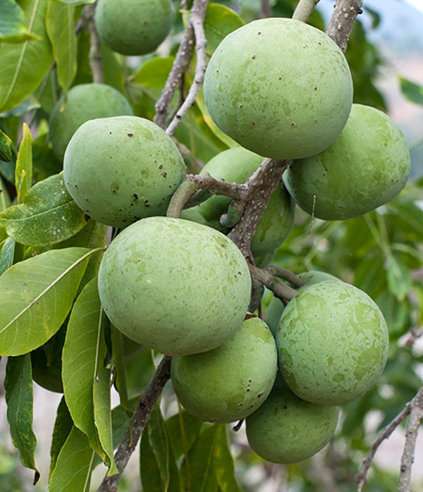 Free Shipping - Sapote Vernon - 1 Plants - 2 to 3  Feet Tall - Ship in 3 Gal Pot