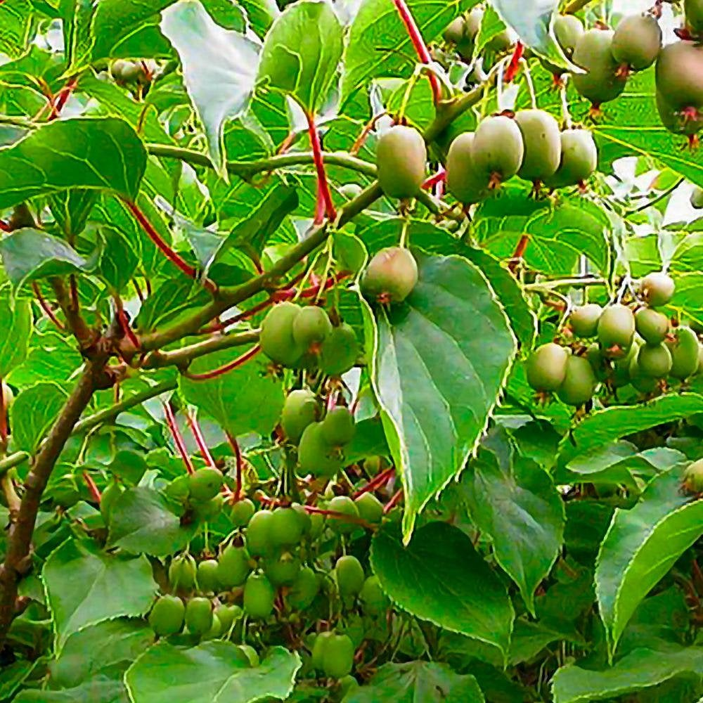 Kiwi Fruit A. argua 'Issai'  - 1 Plants - 1    Feet Tall  -  Ship in 1 Gal Pot