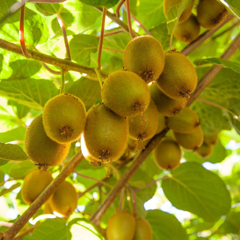 Free Shipping - Kiwi 'Vincent' ( Female)  - 1 Plants - 1    Feet Tall  -  Ship in 1 Gal Pot