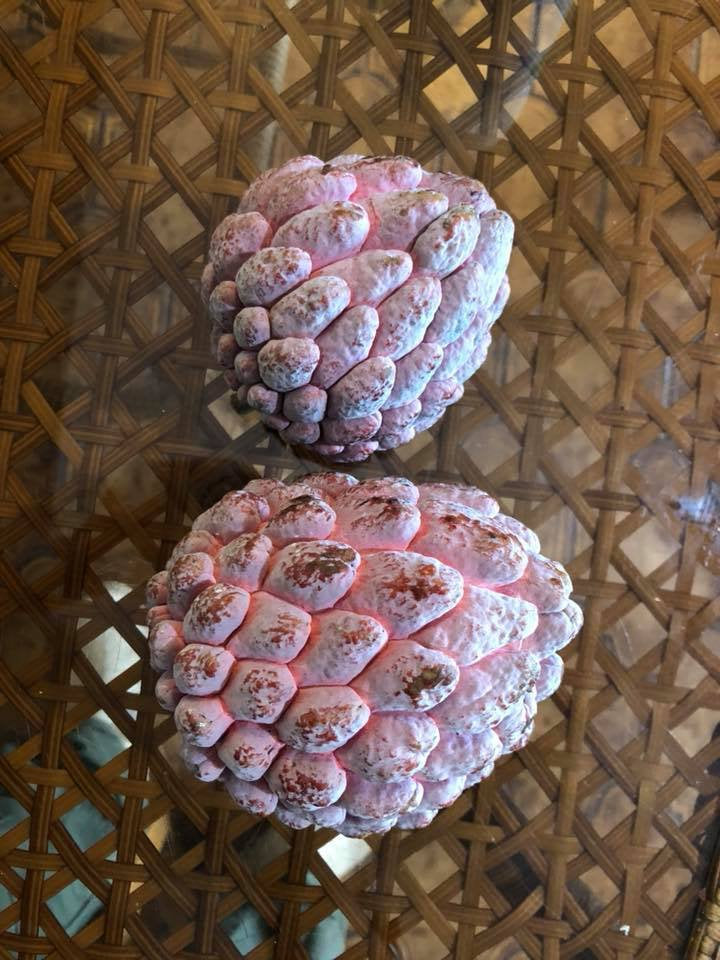 Free Shipping - Sugar Apple Kampong Mauve -  1 Plants - 3  Feet Tall - Ship in  3 Gal Pot