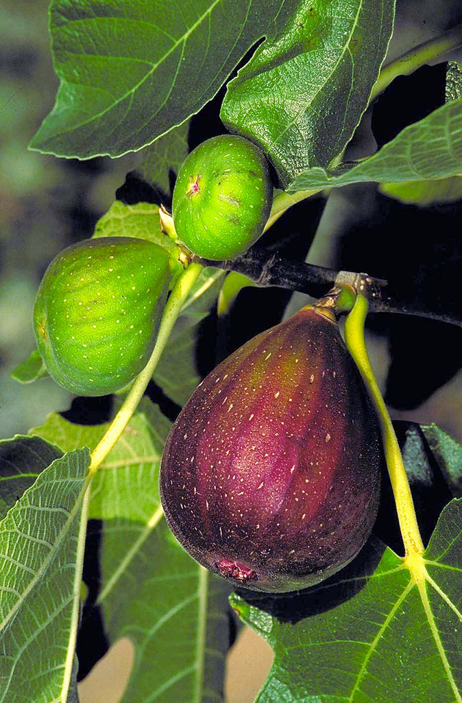 Fig 'Brown Turkey'   - 1 Plants -  1 Feet Fall -  Ship in 1 Gal Pot