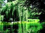Golden Weeping Willow Trees (2 cnt)