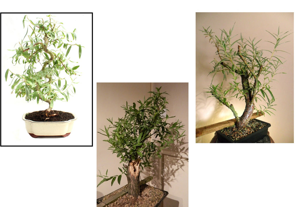 Bonsai Willow Tree Bundle 2 Gettreesfast Com