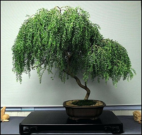 Bonsai Dwarf Weeping Willow
