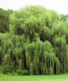 Weeping Willow Trees (2 cnt)