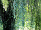 Weeping Willow Tree Cutting (1 cnt)