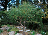 Corkscrew Willow Trees (8 cnt)