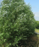 Austree Hybrid Willow Trees (6 cnt)