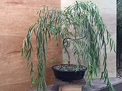 Bonsai Weeping Willow Tree