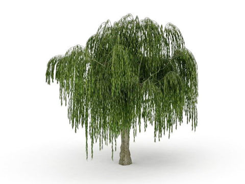 Dwarf Weeping Willow Tree Cutting (1 cnt)