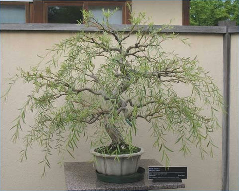 Bonsai Dragon Willow Tree Root Stock