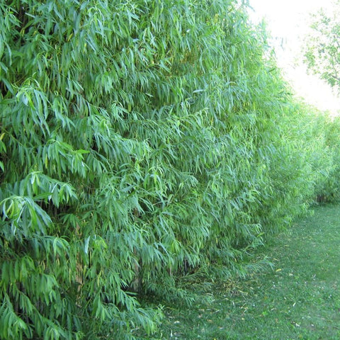 25 hybrid willow cuttings. 2 foot long