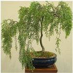 Bonsai Australian Willow Tree Cutting
