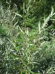 Hybrid Willow Trees (4 cnt) 5 FOOT TALL
