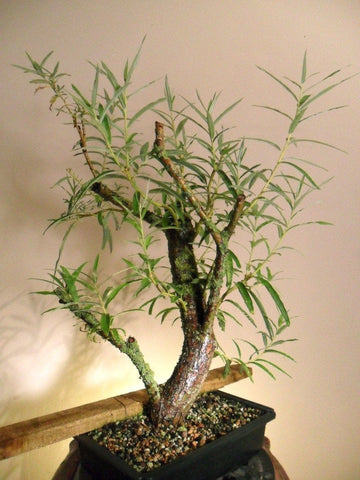 Bonsai White Willow Tree