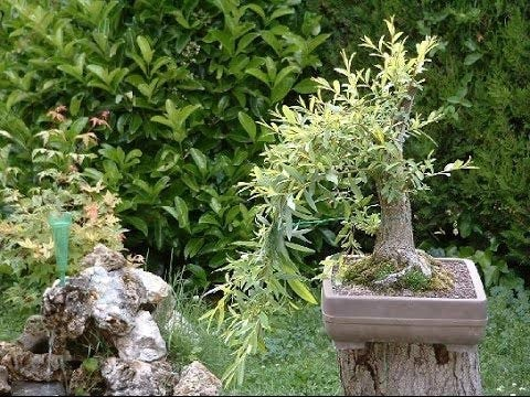 Black Willow Bonsai Tree