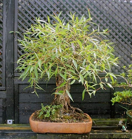 Bonsai Globe Willow Tree