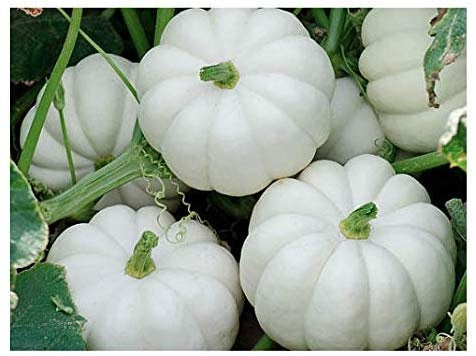 WHITE Baby Boo MINI PUMPKIN  Seeds (15)