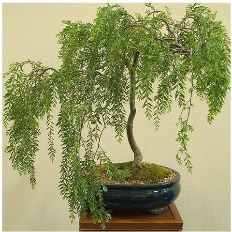 Australian Bonsai Willow