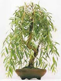 Bonsai Willow Tree Bundle #2