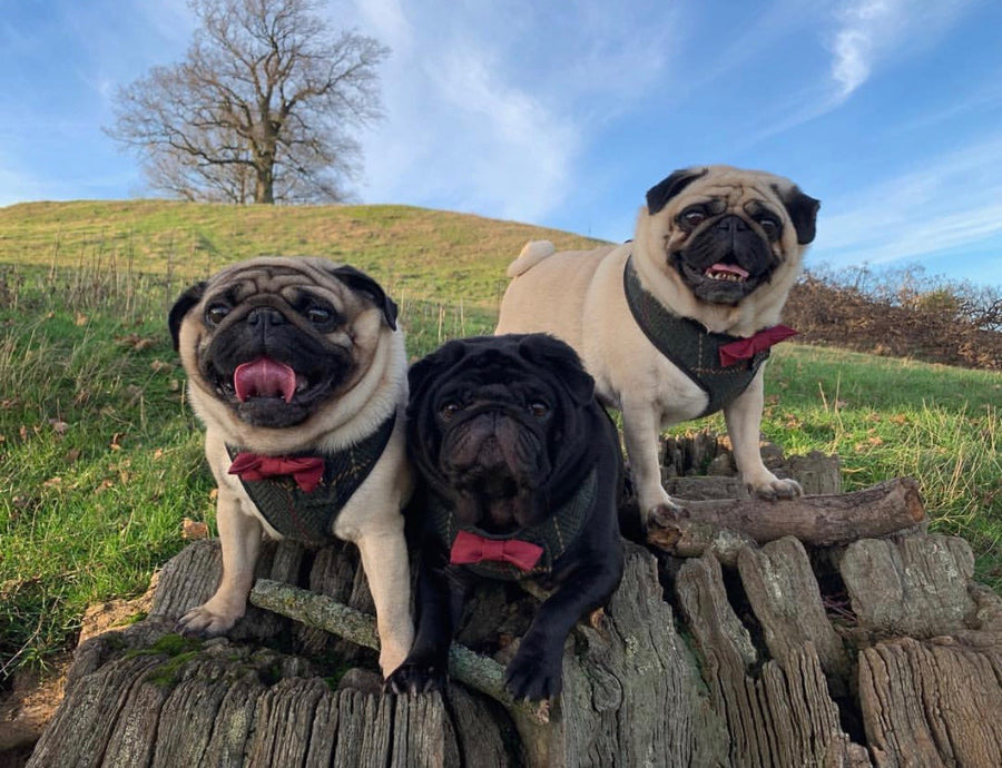 Pugsley, Loki and Chester in their Sir Augustus