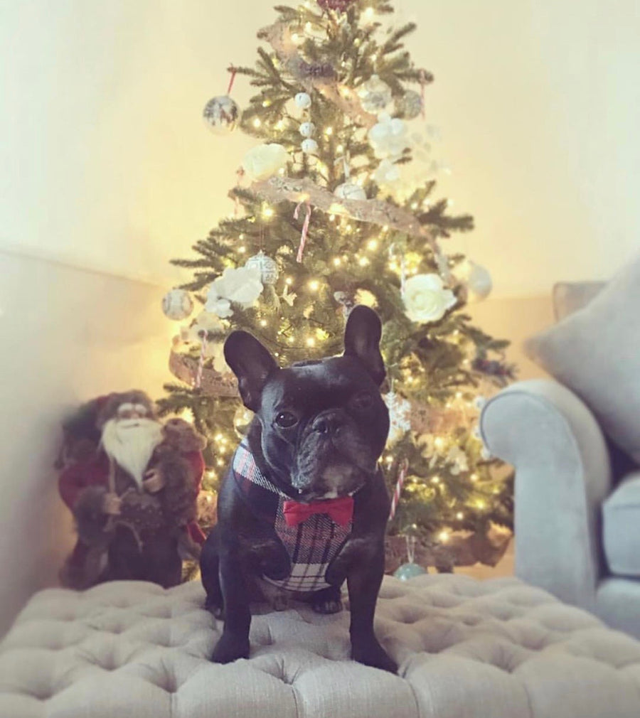 Oscar the Frenchie - Size CUSTOM XL (20