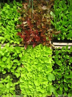 A few of next year's new lettuce varieties (more than) ready to be transplanted.