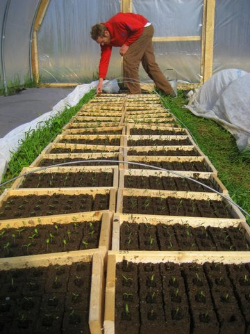 Doug tending hoophouse tomato seedlings in soil block trays.