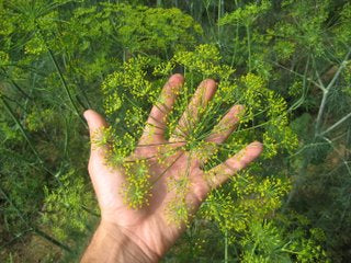 hand and dill