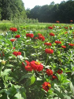 Zinnias in the back field.