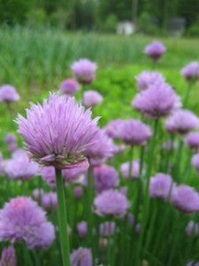 Chives, which come back every year, are some of the first plants on the farm to flower and go to seed.