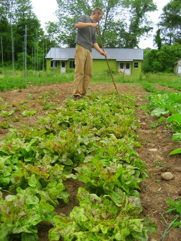 Doug weeding a bed of lettuce.