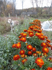 Rutabaga the dog, brainstorming how to incorporate Marigolds into her costume