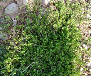 Chickweed: makes another great spinach substitute or a smoothie ingredient.