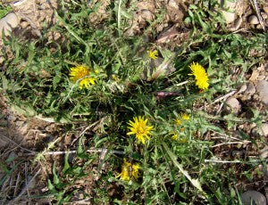Dandelion: use the leaves for a sharp salad green and the flowers and roots to brew a coffee alternative.