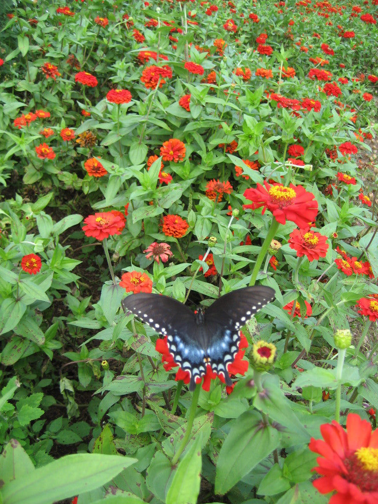 gift zinnia flower with butterfly