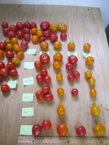Selecting Isis Candy Shop tomatoes